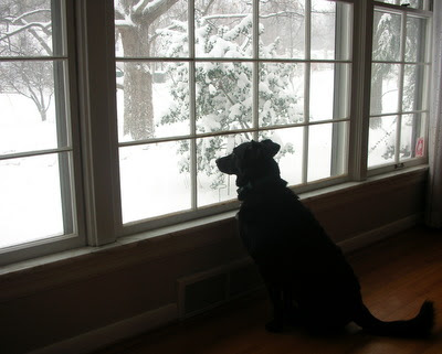 My dog Lady watching the falling snow