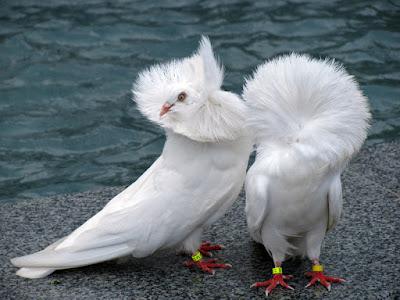 structure pigeons -  Perückentaube