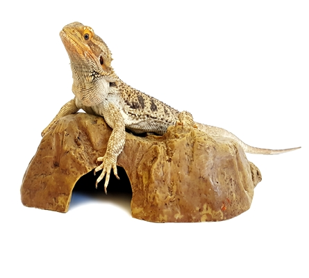 Bearded Dragon Care For Beginners: Bearded Dragon Names