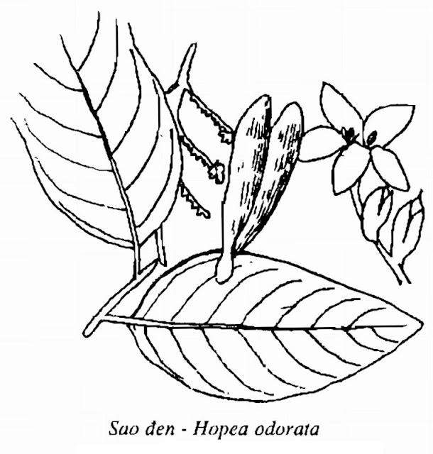 Hình vẽ Sao Đen - Hopea odorata - Nguyên liệu làm thuốc Chữa bệnh Mắt Tai Răng Họng