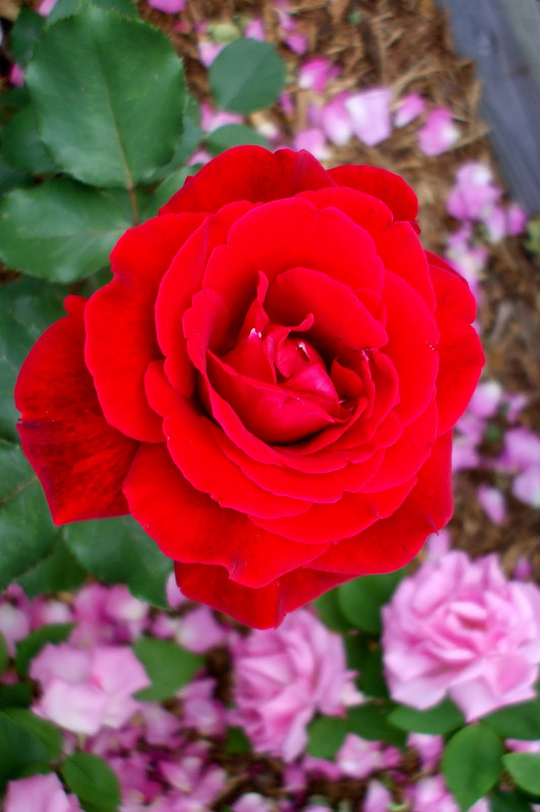 A Rose In The Garden Everything S Coming Up Roses