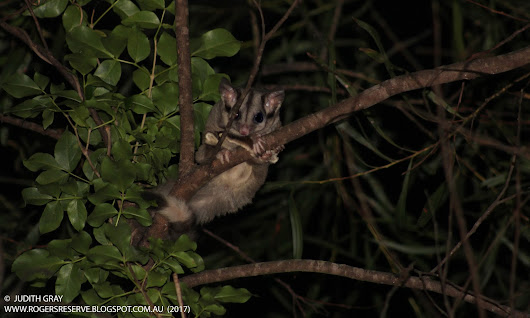 Nocturnal Animals of Rogers Reserve Highfields