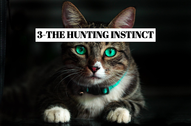 Cats are fearsome predators, and the hunting instinct is ingrained deep within them. Even domestic cats, which do not have to worry about their next meal, enjoy hunting. For these well-fed cats, hunting is more about the thrill of the chase. This is one theory for why cats play with their prey before killing it. *PATIENT HUNTERS Hidden in the tall grass, this cat waits patiently for some unsuspecting prey to cross its path. * STALKING When a cat spots its prey, it approaches slowly, lowering its entire body into a distinctive gait before pouncing.