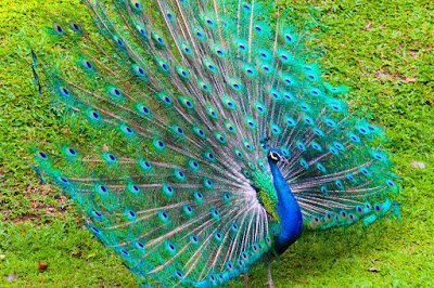 dancing-peacock-so-beatifulhd-imagecollection