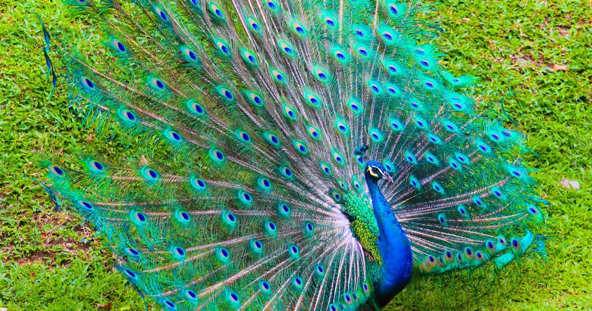 Nice Peacock Images Free Download Allfreshwallpaper