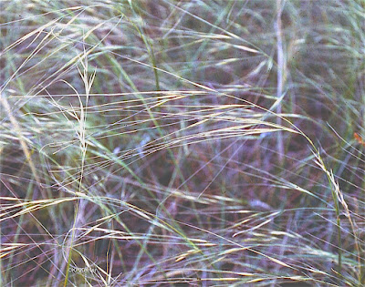 needle-and-thread grass