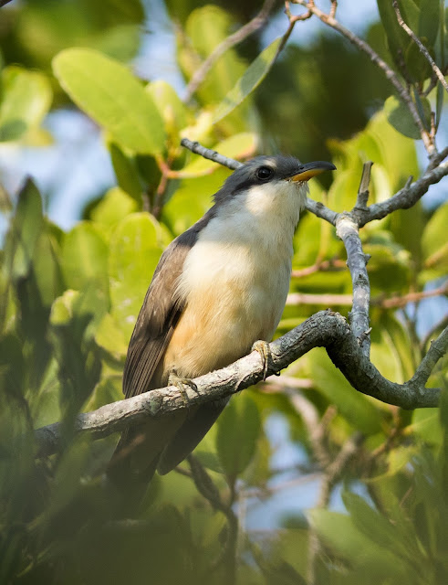 Mangrove Cuckoo - Black Point Park Marina, Florida