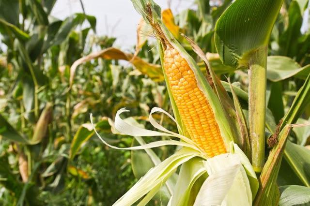 """Американской кукурузе и сое закрыли """"въезд"""" в Россию"""