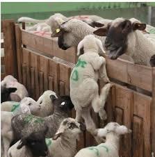 capretti agnelli non mangiarli