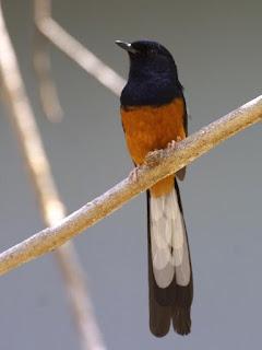 Burung Murai Batu - Mineral yang Membantu Burung Murai Batu Produktif dalam Penangkaran - Kekurangan Mineral yang Membuat Anakan Mati dan Kosongnya Telur Burung Murai Batu - Penangkaran Burung Murai Batu