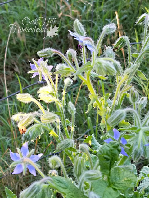 Borage deters tomato horn worms.