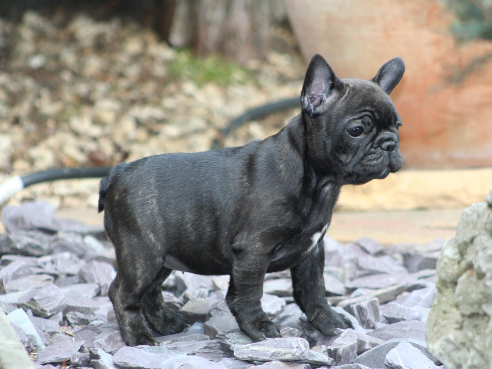 French Bulldog Puppies Wallpapers & Pics - Pets Cute and Docile
