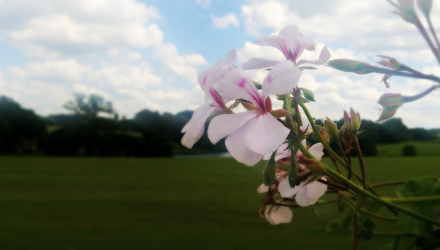 White flowers with pink centre in the gardens of Bowood.