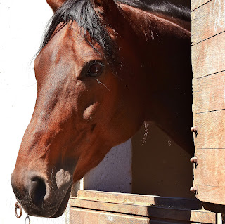 Bay horse standing with his head out of a brown stable door