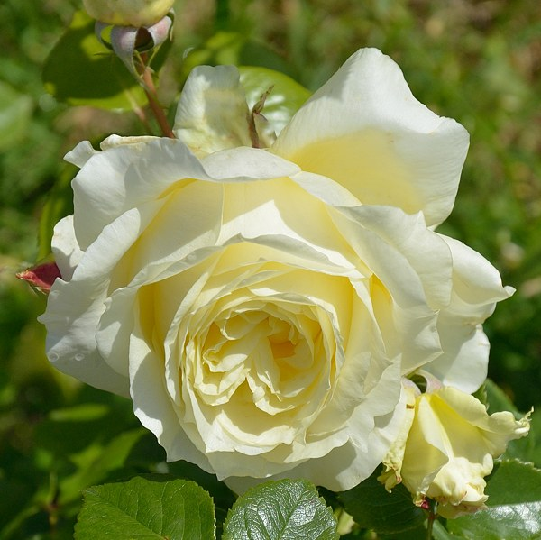 Elfe сорт розы фото саженцы