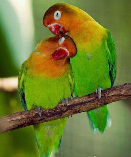 Lovebird Jantan Betina : lovebird, jantan, betina, Beautiful, Pictures, Wallpaper