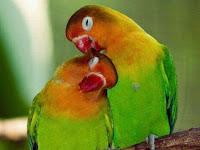 Menstabilkan Birahi Lovebird Jantan,Paud Dan Betina