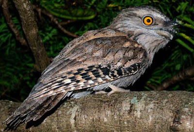 Frogmouth - Animals That Start With Name F
