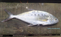 Talang Queenfish, Leatherskin