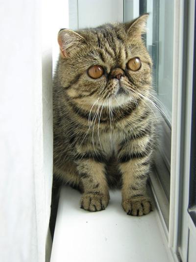 El Gato Exótico es muy similar a la raza persa, a excepción de su piel corta y densa. Tienen cabezas redondas y orejas pequeñas, y al igual que sus cabezas,