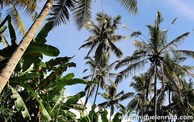 Bananeros-cocoteros-Penglipuran