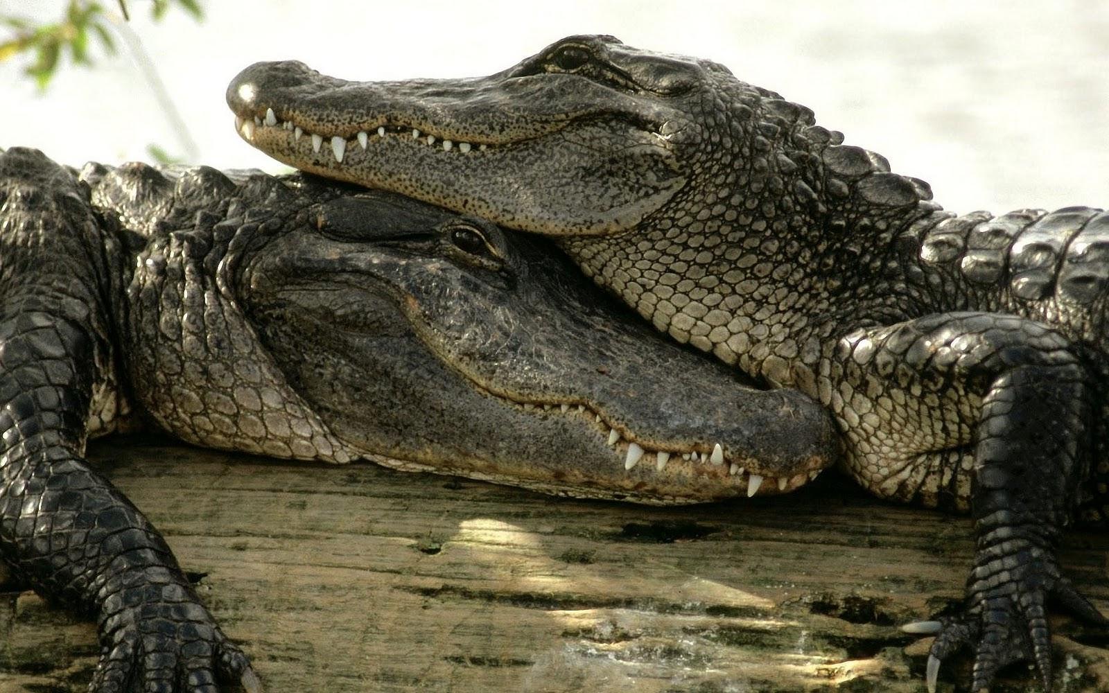 Krokodil Fotos