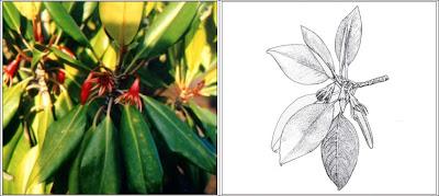 Mengenal Mangrove : Bruguiera gymnorrhiza (L.) Lamk.