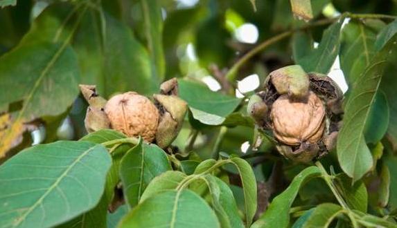 अखरोट के पेड़ का स्वरूप