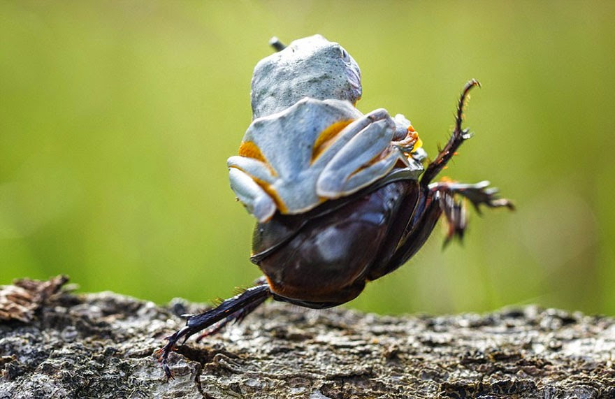 cowboy frog riding beetle animal photography-2