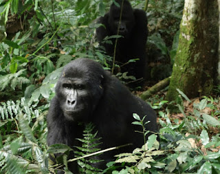 This 3 Days Gorilla trekking safari in Uganda gives you a chance of tracking Gorillas in Uganda in a short time. Enjoy Uganda gorilla tour safaris in Bwindi-2,3,4,5,6,7,gorillatourbooking.com
