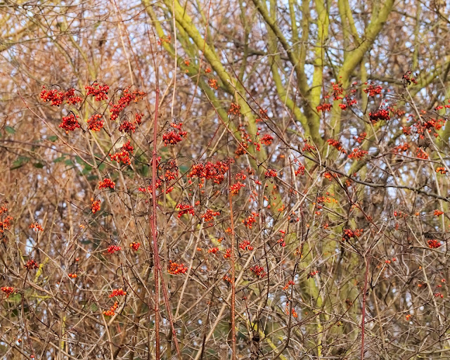 Clusters of gelder rose berries amongst tangled twigs and branches