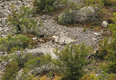 Oso pardo (Ursus arctos arctos)