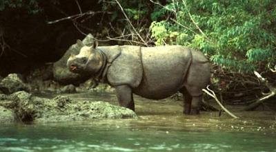 Badak Jawa, Habitat Badak Jawa, Makanan Badak Jawa, Deskripsi Badak Jawa, Nama Ilmiah Badak Jawa, Populasi Badak Jawa.