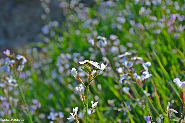White Flowers, Flower Valley, Flower Field