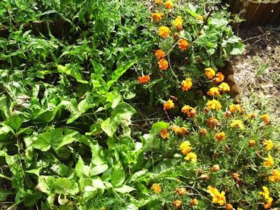Orto di settembre: radicchio, fagiolini, tagete, bietole
