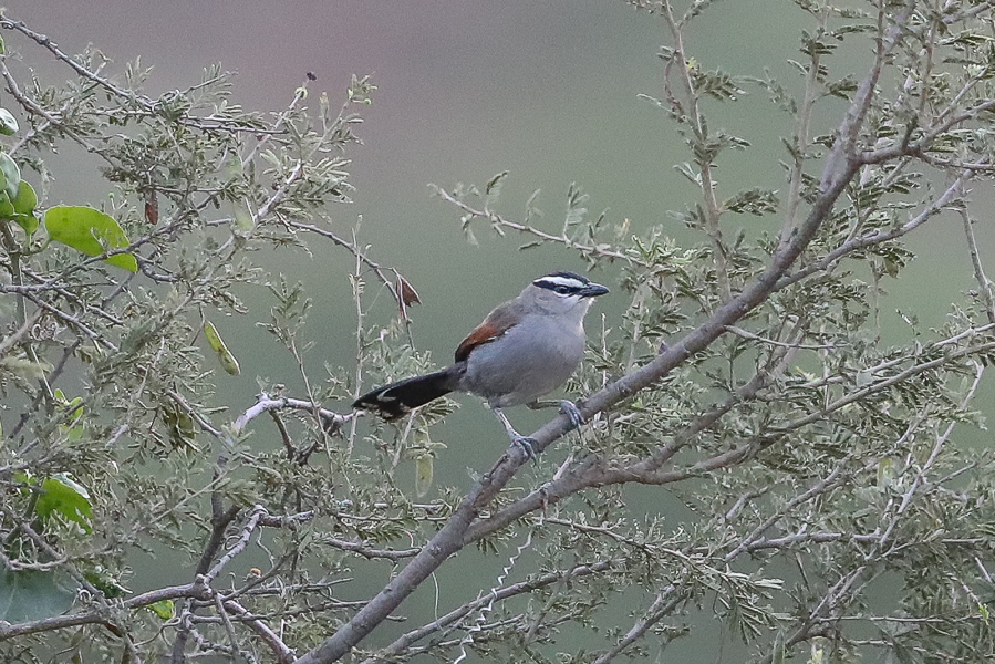 Black-crowned Tchagra at the bottom of Raydah Escarpment – Abha