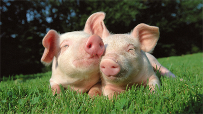 image of two pink piglets snuggling in the grass