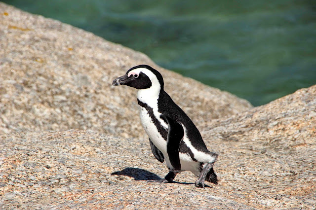 A penguin walks over boulders on the ocean shore