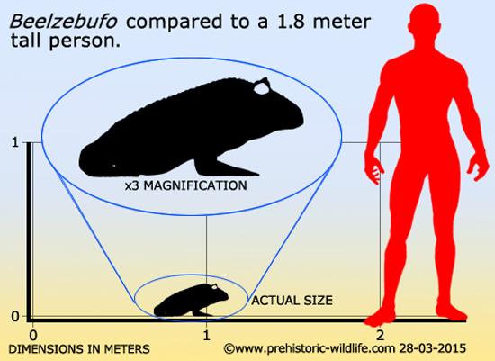 Comparação tamanho Beelzebufo-humano