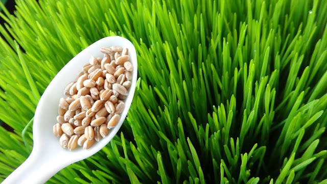 benefits of wheatgrass by nature mantra