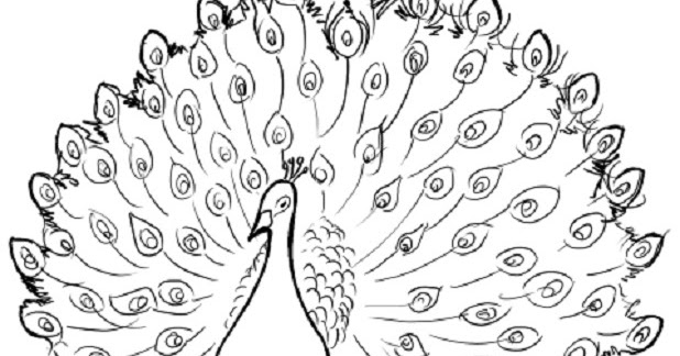 Sketsa Gambar Burung Merak Terbaru Gambar Mewarnai