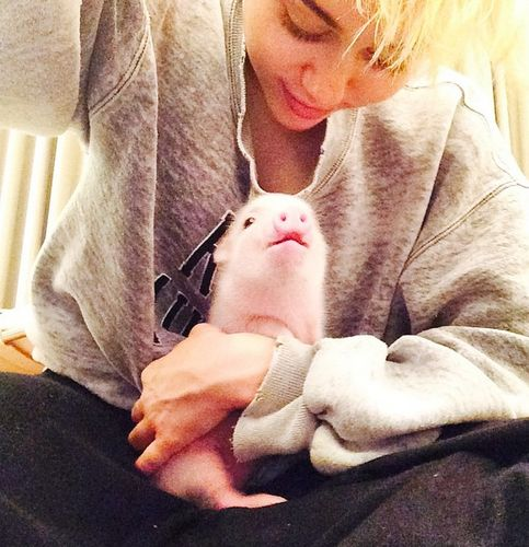 Crazy animal education: Miley Cyrus' pig is sleeping on the sofa