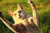 În lumea pisicilor contactul direct prelungit cu ochii este un semn al unei amenințări