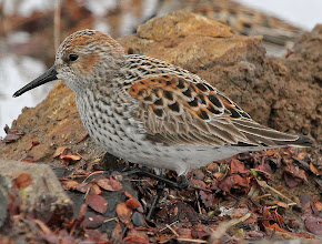 Western Sandpiper - Photographic File.