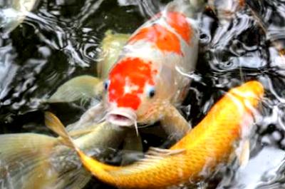 Begini tips cara merawat ikan koi