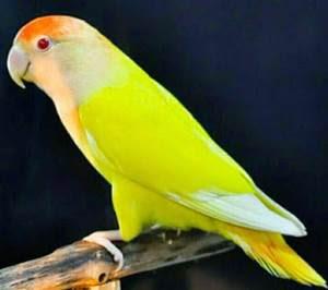 download suara lovebird ngekek panjang mp3