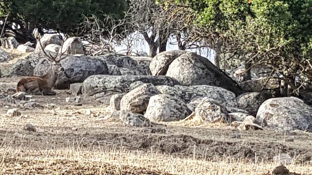 Ciervo en sierra de Andújar