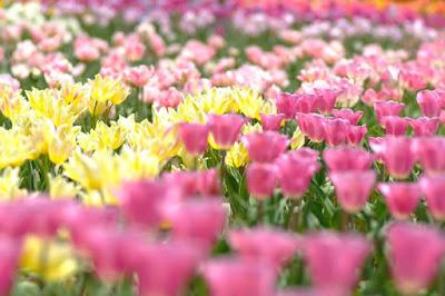 Sera Kogen Farm Tulip Festival