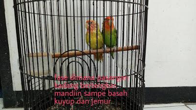 Terapi mandi untuk penjodohan lovebird