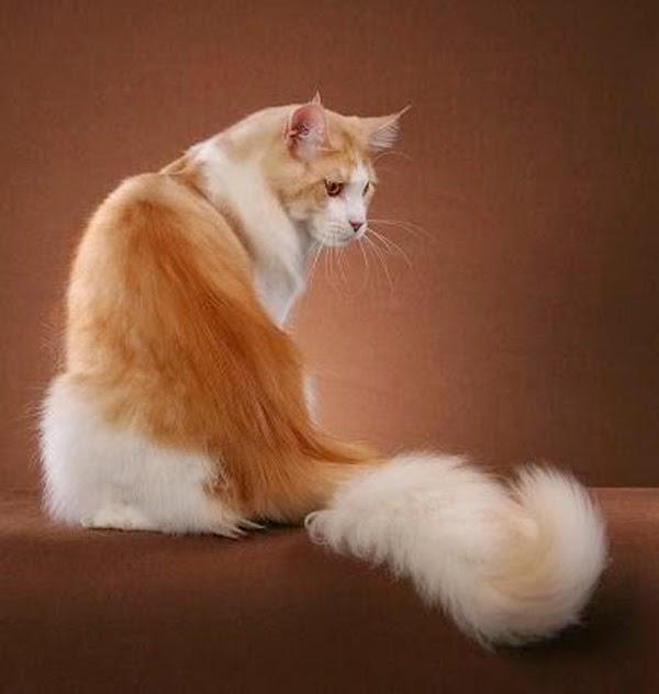 kucing persia garfield